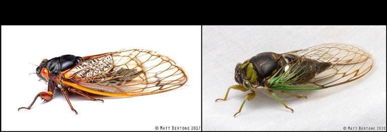 cicadas.tif