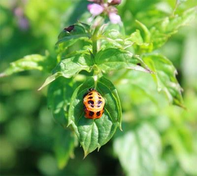 Ladybug in last stage of metamorphosis