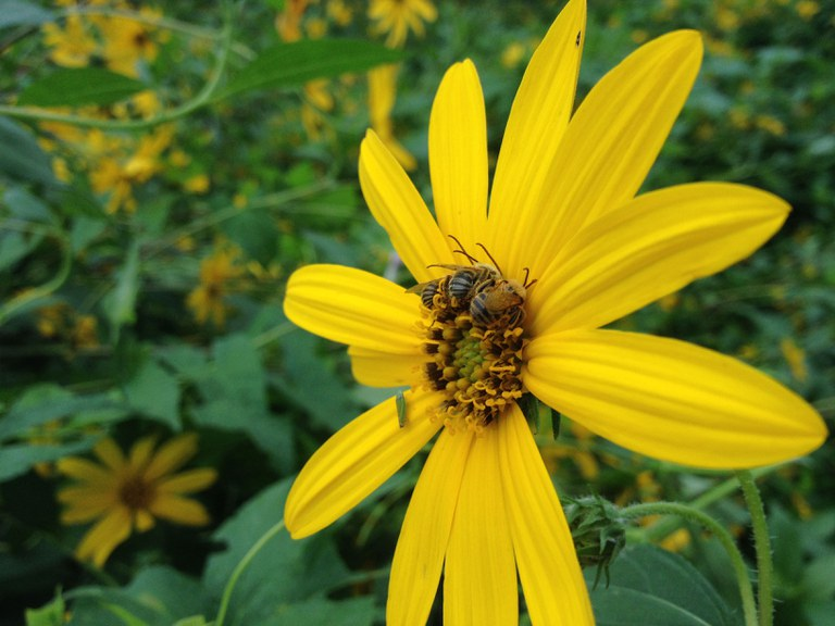 Three long-horned bees (Family Apidae, tribe Eucerini) on a sunflower (July 27, 2017, Awbury Agricultural Village, Philadelphia, PA). Photo by Shelby Kilpatrick.