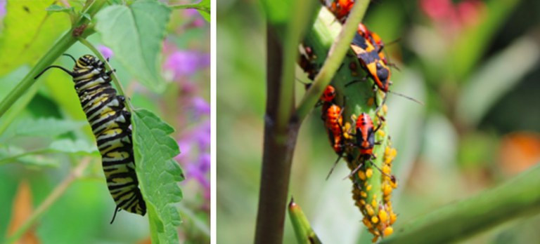 Left: Late-instar monarch caterpillar, photo credit: Juliet 'Lana' Meijas Right: Milkweed bugs (Oncopeltus fasciatus) and oleander aphids (Aphis nerii) on a milkweed plant, photo credit: Juliet 'Lana' Meijas