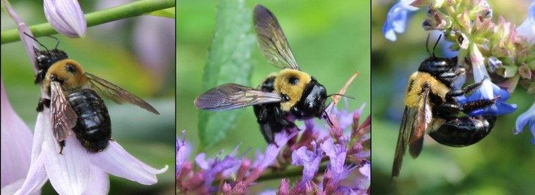 https://extension.psu.edu/the-eastern-carpenter-bee-beneficial-pollinator-or-unwelcome-houseguest
